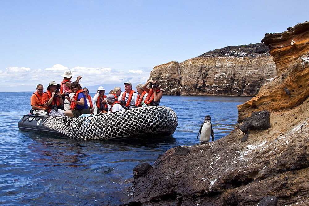 Adult Galapagos penguin (Spheniscus mendiculus) with Zodiac group in the Galapagos Island Group, Ecuador