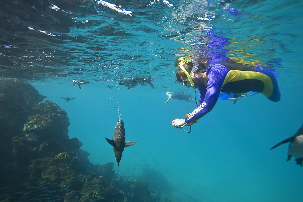 Adult Galapagos penguin (Spheniscus mendiculus) hunting fish underwater near snorkeler in the Galapagos Island Group, Ecuador