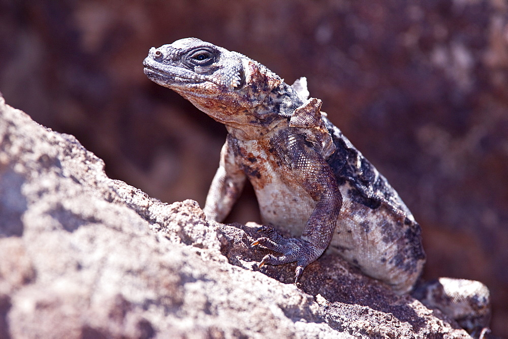 "An adult San Esteban Island chuckwalla (Sauromalus varius) sunning itself on lava rock on Isla San Esteban in the midriff region of the Gulf of California (Sea of Cortez), Baja California, Mexico. MORE INFO: This species of chuckwalla is endemic to this island only. It is sometimes called the ""pinto"" chuckwalla due to its coloration."