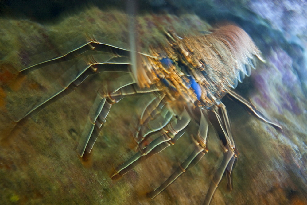 Spiny lobster in the Galapagos Island Archipeligo, Ecuador. Pacific Ocean.