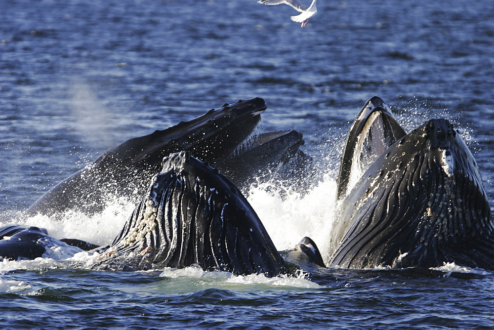 """Adult humpback whales (Megaptera novaeangliae) cooperatively """"bubble-net"""" feeding in Southeast Alaska, USA. Pacific Ocean. Note the expanded ventral pleats as well as the baleen hanging from the upper jaws. (Restricted Resolution - please contact us)"""