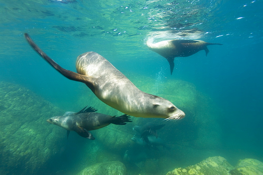 California sea lions (Zalophus californianus) underwater at Los Islotes (the islets) just outside of La Paz, Baja California Sur in the Gulf of California (Sea of Cortez), Mexico.