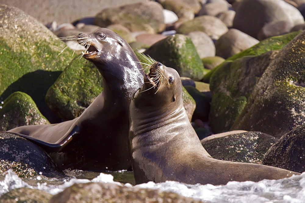 Adult California sea lion (Zalophus californianus) mock-fighting at Los Islotes (the islets) just outside of La Paz, Baja California Sur in the Gulf of California (Sea of Cortez), Mexico.