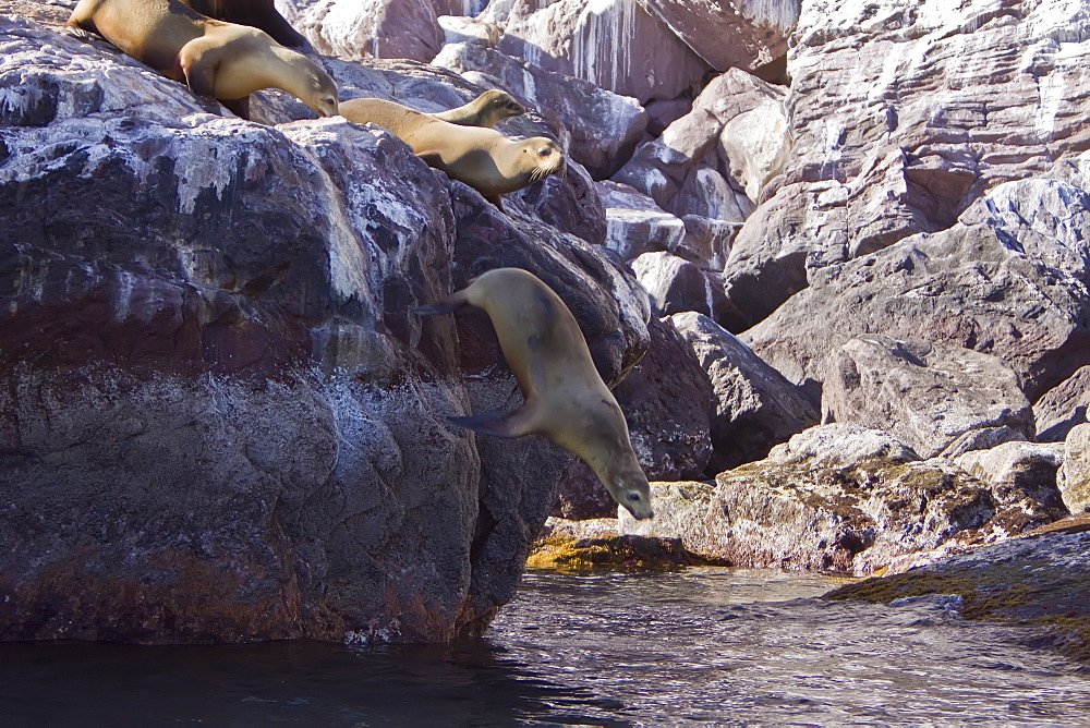 California sea lion (Zalophus californianus) leaping off rock at Isla San Pedro Martir, Baja California Norte in the Gulf of California (Sea of Cortez), Mexico.
