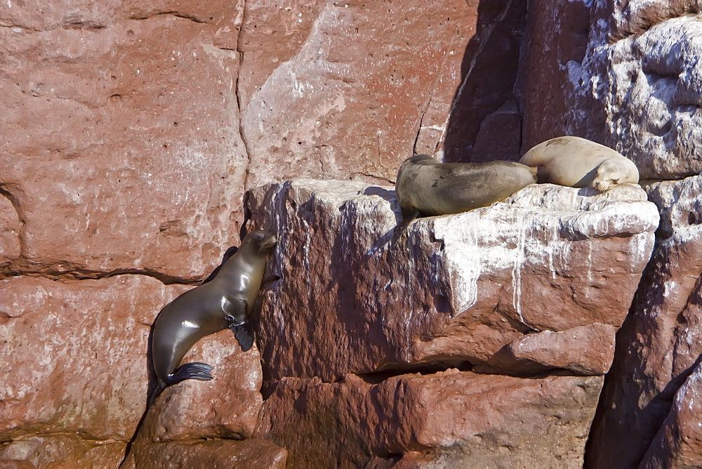 California sea lion (Zalophus californianus) pup (left) climbing the rocks at Los Islotes (the islets) just outside of La Paz, Baja California Sur in the Gulf of California (Sea of Cortez), Mexico.