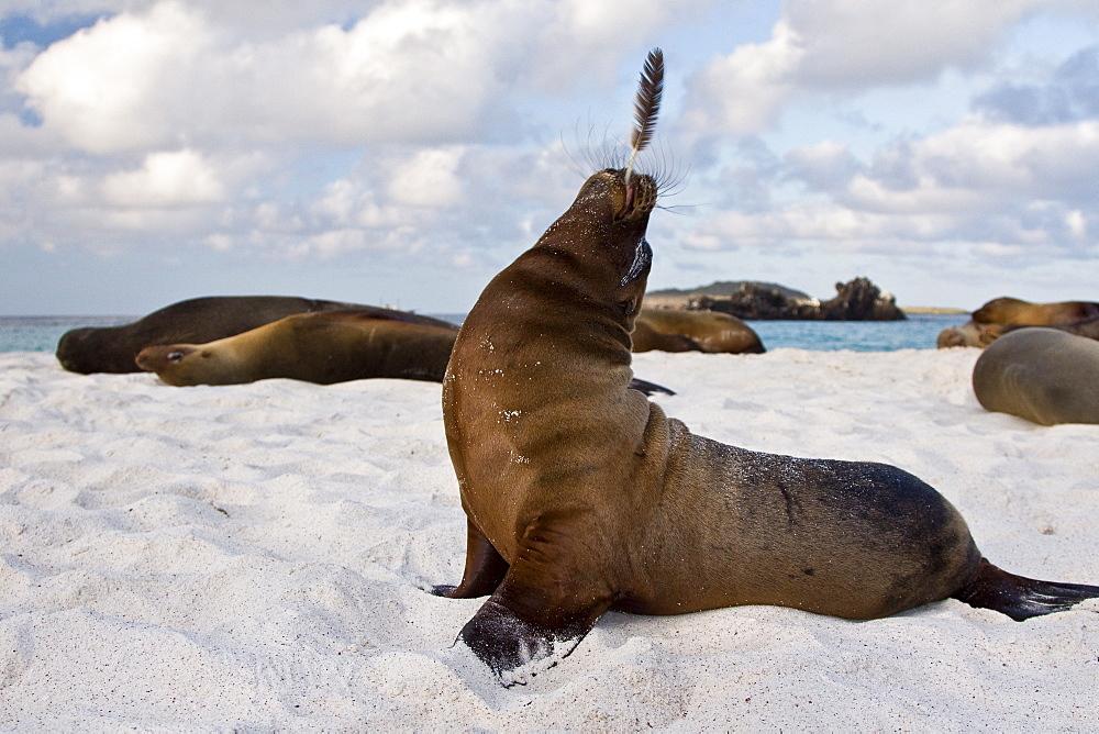Galapagos sea lion (Zalophus wollebaeki) pup with feather in the Galapagos Island Group, Ecuador. Pacific Ocean.