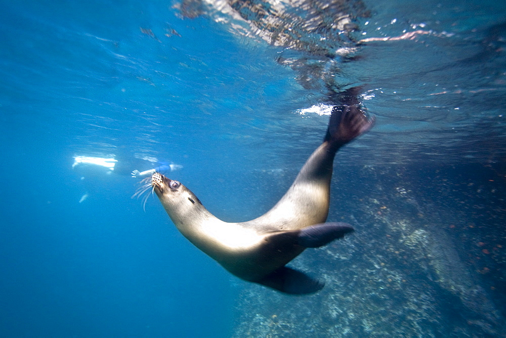 Galapagos sea lion (Zalophus wollebaeki) underwater in the Galapagos Island Group, Ecuador. Pacific Ocean.