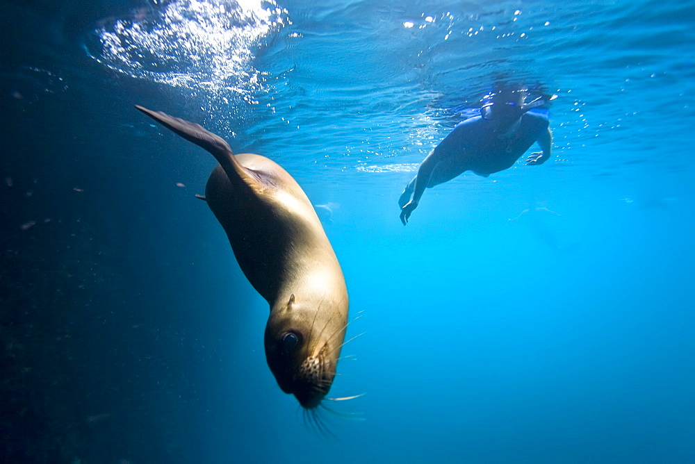 Galapagos sea lion (Zalophus wollebaeki) underwater with snorkeler in the Galapagos Island Group, Ecuador. Pacific Ocean.