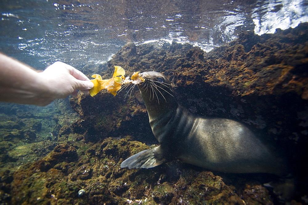 Galapagos sea lion (Zalophus wollebaeki) underwater in the Galapagos Island Group, Ecuador. Pacific Ocean.