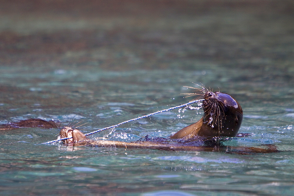 Galapagos sea lion (Zalophus wollebaeki) pups playing with a rope in the Galapagos Island Group, Ecuador. Pacific Ocean.