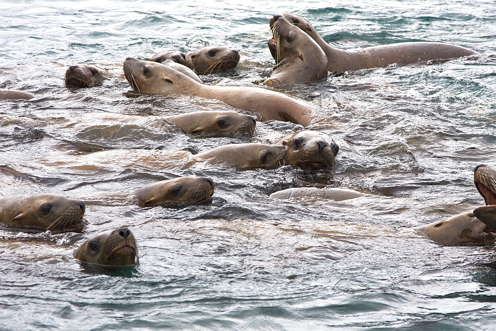 Curious northern (Steller) sea lion (Eumetopias jubatus) colony in Inian Pass near Cross Sound, southeastern Alaska. These animals are excited by the incoming flood tide, as well as the Zodiacs and Lindblad guests among them. This is the second largest of all pinnipeds in North America, with males reaching a length of over 10 feet and 2,000 pounds while the females are much smaller at about 7 feet and 700 pounds.