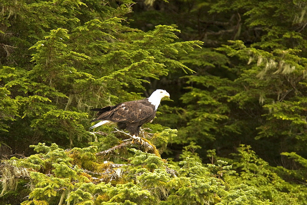 Adult bald eagle (Haliaeetus leucocephalus) just outside of Sitka, Southeast Alaska, USA. Pacific Ocean