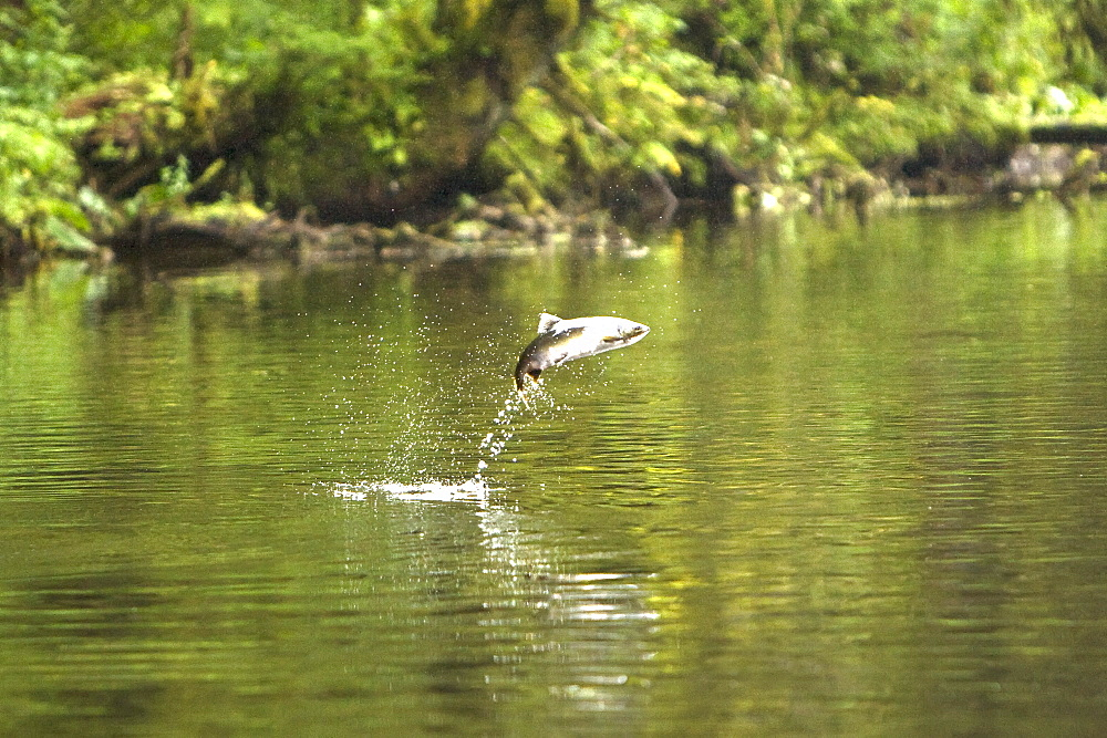 """Spawning pink salmon (Oncorhynchus gorbuscha) leaping fromn the water in a stream running out of Lake Eva, Southeast Alaska, USA. Pacific Ocean. This salmon is also sometimes called the humpback or """"humpie"""" due to the change in its form during spawning."""