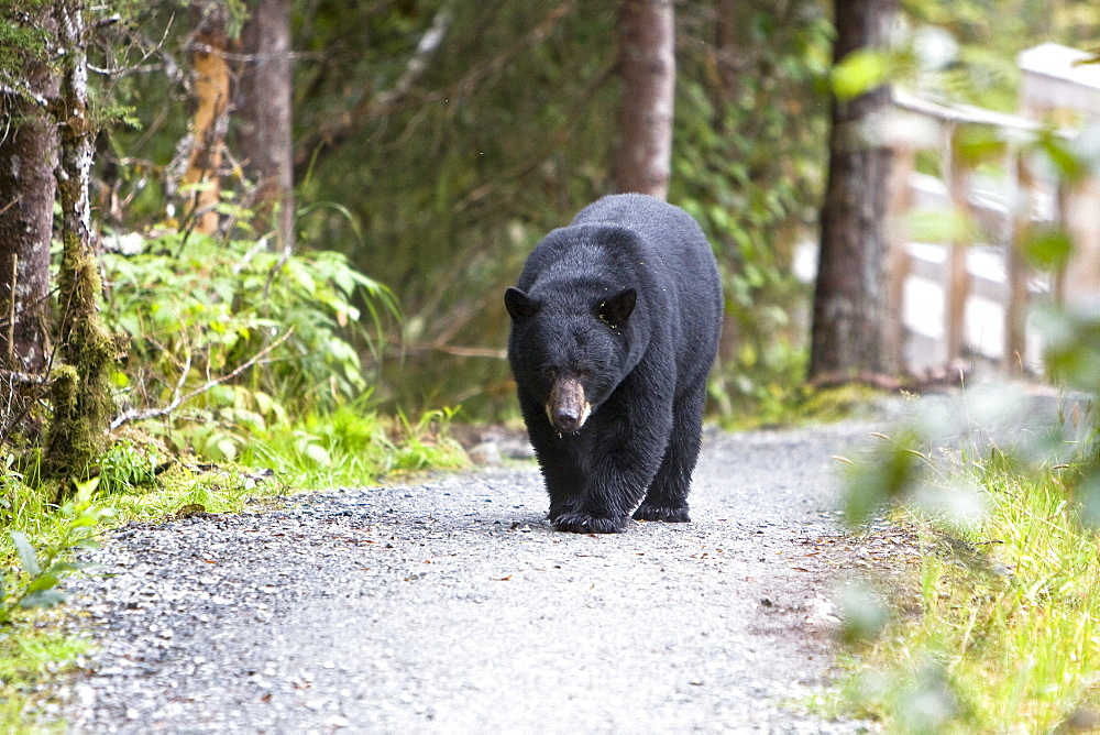 A young black bear (Ursus americanus) foraging near Mendenhall Glacier Park just outside of Juneau, on the Alaska mainland in Southeast Alaska, USA. Pacific Ocean. This young bear is probably only recently weaned from its mother. The Alaskan black bear has its own sub-species name: Ursus americanus emmonsii. The black bear usually ranges in length from 150 to 180 cm (5 to 6 feet) and typically stands about 76 to 91 cm (2.5 to 3 feet) at the shoulder. Standing up on its hind feet, a black bear can be up to 7 feet tall (2.12 m). Males are 33% larger than females. Females weigh between 40 and 180 kg (90 and 400 pounds); males weigh between 115 and 275 kg (250 and 600 pounds). Adult black bears can reach 300 kg (660 pounds), but exceptionally large males have been recorded from the wild at up to 240 cm (95 inches) long and at least 365 kg (800 pounds). Today, a major threat to the black bears is poaching, or illegal killing, to supply Asian markets with bear galls, hearts, and paws, considered to have medicinal value in China, Japan, and Korea.