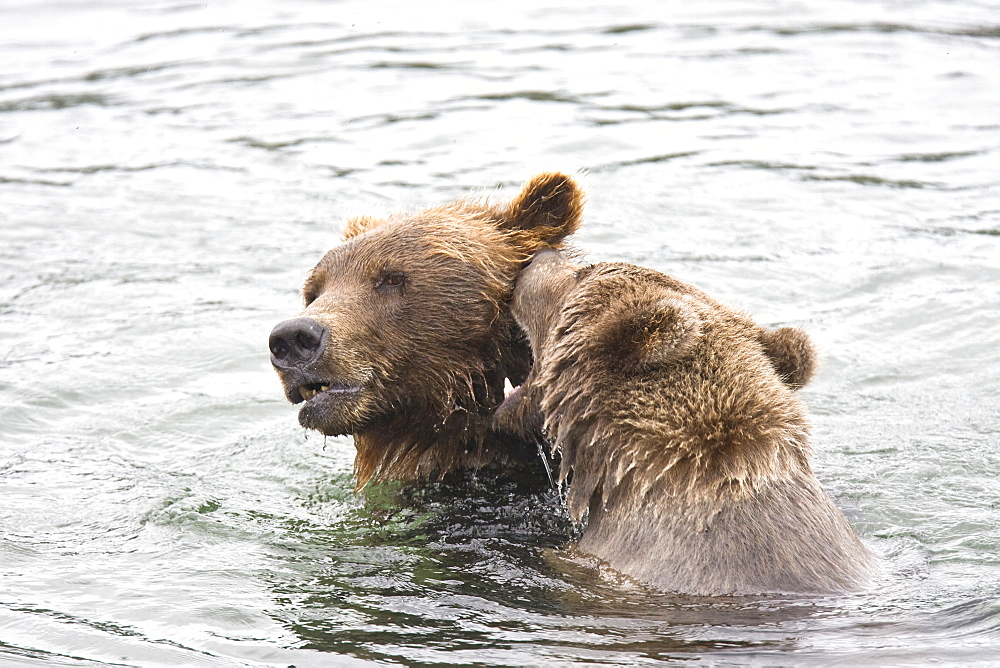 Mother with single cub brown bear (Ursus arctos) playing in the water at the Brooks River in Katmai National Park near Bristol Bay, Alaska, USA. Pacific Ocean. The normal range of physical dimensions for a brown bear is a head-and-body length of 1.7 to 2.8 m (5.6 to 9.2 feet) and a shoulder height 90 to 150 cm (35 to 60 inches). Males are 38-50% larger than females. It is not unusual for large male Kodiak Bears to stand over 3 m (10 feet) while on their hind legs and to weigh about 680 kg (1,500 lb). The largest wild Kodiak bear on record weighed over 1,100 kilograms (2,500 pounds). There are about 200,000 brown bears in the world, with 32,500 in the United States. 95% of the brown bear population in the United States live in Alaska.