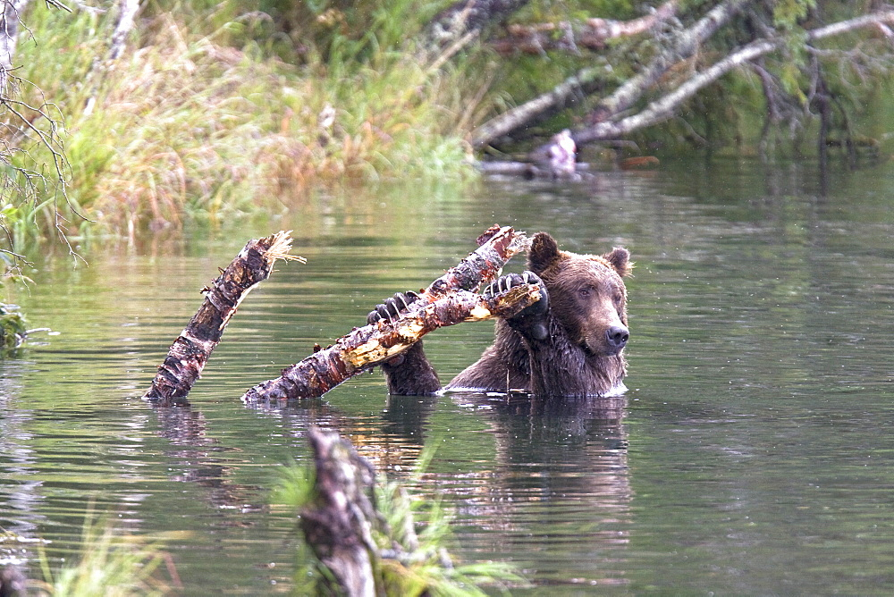 Brown bear (Ursus arctos) at the Brooks River in Katmai National Park near Bristol Bay, Alaska, USA. Pacific Ocean. The normal range of physical dimensions for a brown bear is a head-and-body length of 1.7 to 2.8 m (5.6 to 9.2 feet) and a shoulder height 90 to 150 cm (35 to 60 inches). Males are 38-50% larger than females. It is not unusual for large male Kodiak Bears to stand over 3 m (10 feet) while on their hind legs and to weigh about 680 kg (1,500 lb). The largest wild Kodiak bear on record weighed over 1,100 kilograms (2,500 pounds). There are about 200,000 brown bears in the world, with 32,500 in the United States. 95% of the brown bear population in the United States live in Alaska.