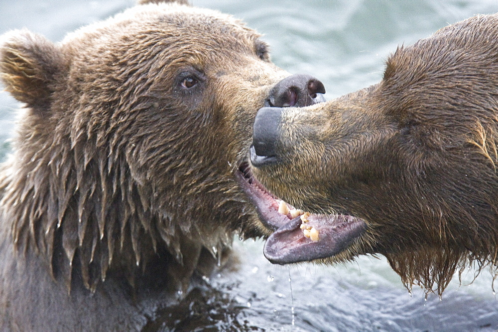 Mother brown bear sow (Ursus arctos) mock fighting with her two-year old cub at the Brooks River in Katmai National Park near Bristol Bay, Alaska, USA. Pacific Ocean. The normal range of physical dimensions for a brown bear is a head-and-body length of 1.7 to 2.8 m (5.6 to 9.2 feet) and a shoulder height 90 to 150 cm (35 to 60 inches). Males are 38-50% larger than females. It is not unusual for large male Kodiak Bears to stand over 3 m (10 feet) while on their hind legs and to weigh about 680 kg (1,500 lb). The largest wild Kodiak bear on record weighed over 1,100 kilograms (2,500 pounds). There are about 200,000 brown bears in the world, with 32,500 in the United States. 95% of the brown bear population in the United States live in Alaska.