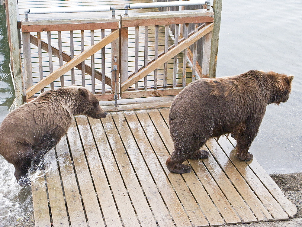 Mother brown bear sow (Ursus arctos) at the board walk with her two-year old cub at the Brooks River in Katmai National Park near Bristol Bay, Alaska, USA. Pacific Ocean. The normal range of physical dimensions for a brown bear is a head-and-body length of 1.7 to 2.8 m (5.6 to 9.2 feet) and a shoulder height 90 to 150 cm (35 to 60 inches). Males are 38-50% larger than females. It is not unusual for large male Kodiak Bears to stand over 3 m (10 feet) while on their hind legs and to weigh about 680 kg (1,500 lb). The largest wild Kodiak bear on record weighed over 1,100 kilograms (2,500 pounds). There are about 200,000 brown bears in the world, with 32,500 in the United States. 95% of the brown bear population in the United States live in Alaska.