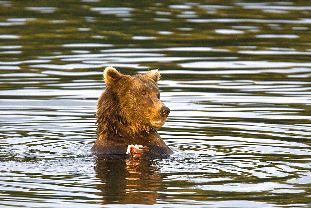 Mother brown bear sow (Ursus arctos) feeding near her two year-old cub at the Brooks River in Katmai National Park near Bristol Bay, Alaska, USA. Pacific Ocean. The normal range of physical dimensions for a brown bear is a head-and-body length of 1.7 to 2.8 m (5.6 to 9.2 feet) and a shoulder height 90 to 150 cm (35 to 60 inches). Males are 38-50% larger than females. It is not unusual for large male Kodiak Bears to stand over 3 m (10 feet) while on their hind legs and to weigh about 680 kg (1,500 lb). The largest wild Kodiak bear on record weighed over 1,100 kilograms (2,500 pounds). There are about 200,000 brown bears in the world, with 32,500 in the United States. 95% of the brown bear population in the United States live in Alaska.