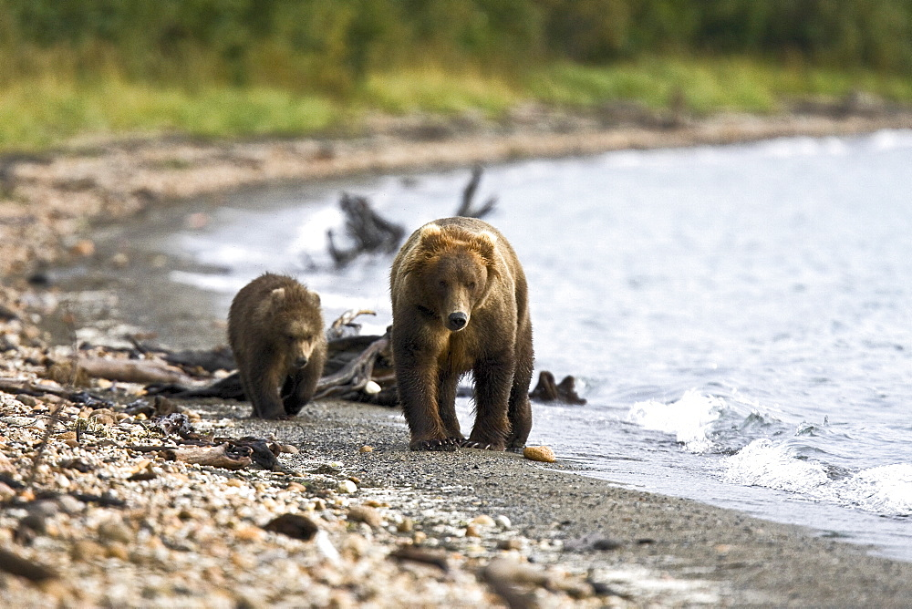 Mother and cub brown bear (Ursus arctos) walking the beach at the Brooks River in Katmai National Park near Bristol Bay, Alaska, USA. Pacific Ocean. The normal range of physical dimensions for a brown bear is a head-and-body length of 1.7 to 2.8 m (5.6 to 9.2 feet) and a shoulder height 90 to 150 cm (35 to 60 inches). Males are 38-50% larger than females. It is not unusual for large male Kodiak Bears to stand over 3 m (10 feet) while on their hind legs and to weigh about 680 kg (1,500 lb). The largest wild Kodiak bear on record weighed over 1,100 kilograms (2,500 pounds). There are about 200,000 brown bears in the world, with 32,500 in the United States. 95% of the brown bear population in the United States live in Alaska.