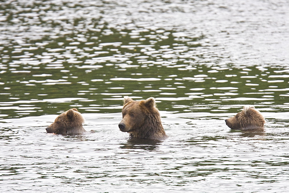 Mother brown bear (Ursus arctos) with two cubs foraging for sockeye salmon at the Brooks River in Katmai National Park near Bristol Bay, Alaska, USA. Pacific Ocean. The normal range of physical dimensions for a brown bear is a head-and-body length of 1.7 to 2.8 m (5.6 to 9.2 feet) and a shoulder height 90 to 150 cm (35 to 60 inches). Males are 38-50% larger than females. It is not unusual for large male Kodiak Bears to stand over 3 m (10 feet) while on their hind legs and to weigh about 680 kg (1,500 lb). The largest wild Kodiak bear on record weighed over 1,100 kilograms (2,500 pounds). There are about 200,000 brown bears in the world, with 32,500 in the United States. 95% of the brown bear population in the United States live in Alaska.