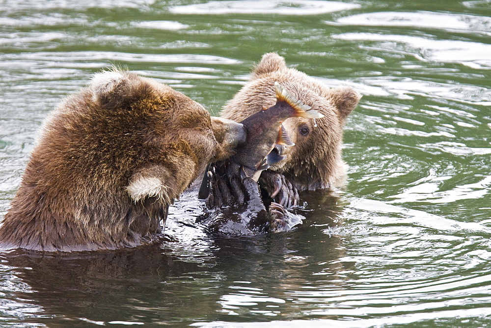 Mother brown bear (Ursus arctos) foraging for sockeye salmon with two year-old cub at the Brooks River in Katmai National Park near Bristol Bay, Alaska, USA. Pacific Ocean. The normal range of physical dimensions for a brown bear is a head-and-body length of 1.7 to 2.8 m (5.6 to 9.2 feet) and a shoulder height 90 to 150 cm (35 to 60 inches). Males are 38-50% larger than females. It is not unusual for large male Kodiak Bears to stand over 3 m (10 feet) while on their hind legs and to weigh about 680 kg (1,500 lb). The largest wild Kodiak bear on record weighed over 1,100 kilograms (2,500 pounds). There are about 200,000 brown bears in the world, with 32,500 in the United States. 95% of the brown bear population in the United States live in Alaska.