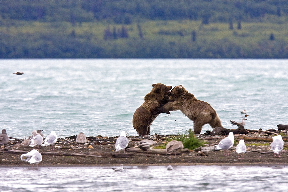 Brown bear cubs (Ursus arctos) playing and mock fighting on the beach near the Brooks River in Katmai National Park near Bristol Bay, Alaska, USA. Pacific Ocean. The normal range of physical dimensions for a brown bear is a head-and-body length of 1.7 to 2.8 m (5.6 to 9.2 feet) and a shoulder height 90 to 150 cm (35 to 60 inches). Males are 38-50% larger than females. It is not unusual for large male Kodiak Bears to stand over 3 m (10 feet) while on their hind legs and to weigh about 680 kg (1,500 lb). The largest wild Kodiak bear on record weighed over 1,100 kilograms (2,500 pounds). There are about 200,000 brown bears in the world, with 32,500 in the United States. 95% of the brown bear population in the United States live in Alaska.