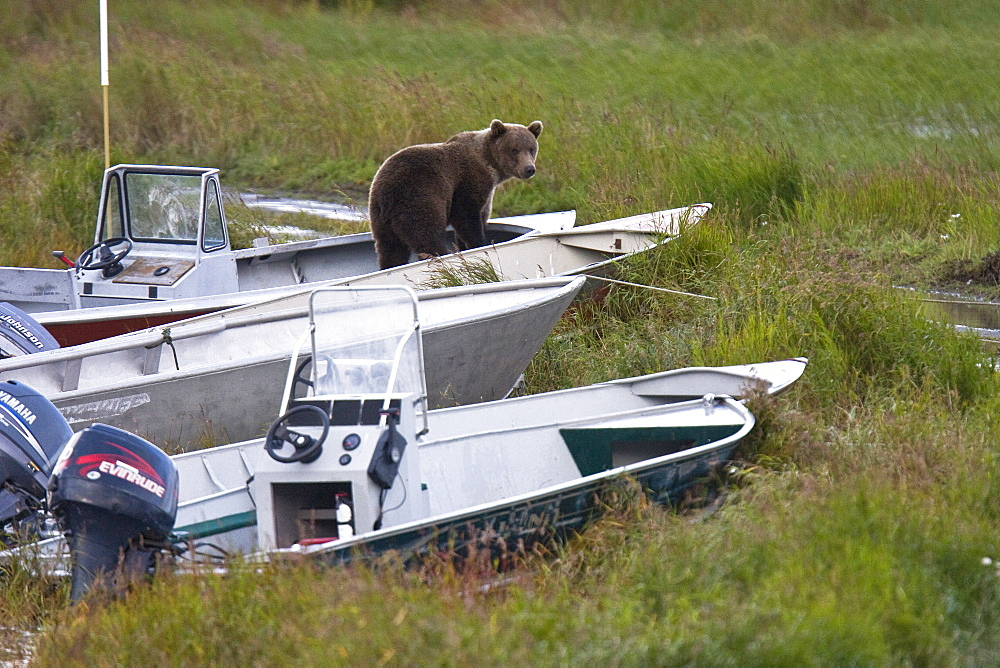 Two curious brown bear cubs (Ursus arctos), probably just recently weened, inspecting and gnawing on park ranger and service boats at the Brooks River in Katmai National Park near Bristol Bay, Alaska, USA. Pacific Ocean. The normal range of physical dimensions for a brown bear is a head-and-body length of 1.7 to 2.8 m (5.6 to 9.2 feet) and a shoulder height 90 to 150 cm (35 to 60 inches). Males are 38-50% larger than females. It is not unusual for large male Kodiak Bears to stand over 3 m (10 feet) while on their hind legs and to weigh about 680 kg (1,500 lb). The largest wild Kodiak bear on record weighed over 1,100 kilograms (2,500 pounds). There are about 200,000 brown bears in the world, with 32,500 in the United States. 95% of the brown bear population in the United States live in Alaska.