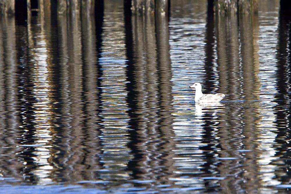 Adult herring gull (Larus argentatus) in Southeast Alaska, USA.