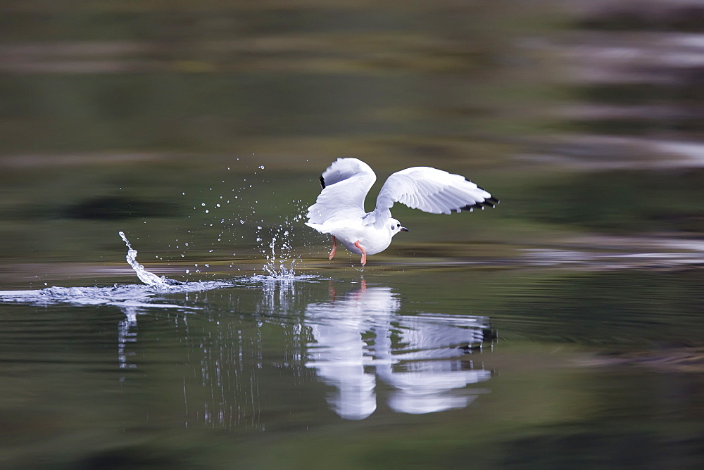 First winter coloration Bonaparte's gull (Larus philadelphia) in flight over the calm waters of Fresh Water Bay on Chichagof Island in Southeastern Alaska, USA. Pacific Ocean.