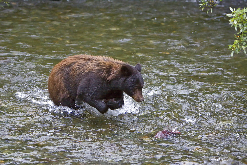 A female black bear (Ursus americanus)  fishing for sockeye salmon near Mendenhall Glacier outside of Juneau, Southeast Alaska, USA. Pacific Ocean. MORE INFO: The Alaskan black bear has its own sub-species name: Ursus americanus emmonsii. The black bear usually ranges in length from 150 to 180 cm (5 to 6 feet) and typically stands about 76 to 91 cm (2.5 to 3 feet) at the shoulder. Standing up on its hind feet, a black bear can be up to 7 feet tall (2.12 m). Males are 33% larger than females. Females weigh between 40 and 180 kg (90 and 400 pounds); males weigh between 115 and 275 kg (250 and 600 pounds).