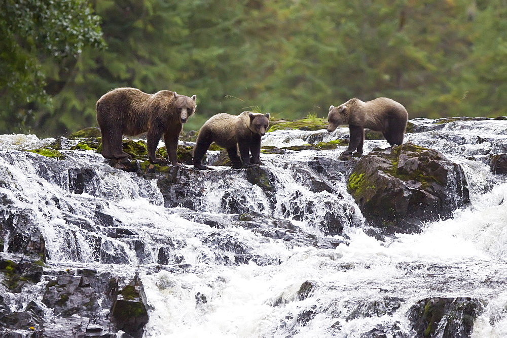 Brown Bear sow (Ursus arctos) with coy (cubs-of-year) fishing for pink salmon near the salmon weir at Pavlof Harbor on Chichagof Island in Southeast Alaska, USA. Pacific Ocean.