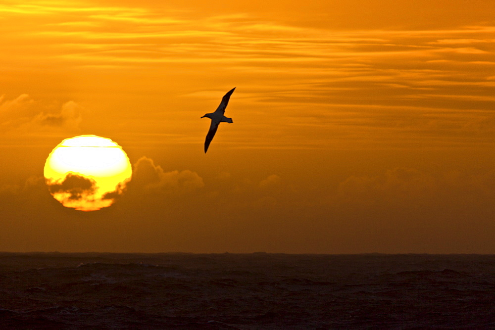 Wandering albatross (Diomedea exulans) on the wing at sunset approaching South Georgia Island, Southern Atlantic Ocean. The Wandering Albatross has the largest wingspan of any living bird, with the average wingspan being 3.1 metres (10.2 ft). The longest-winged examples verified have been about 3.7 m (12 ft), but probably erroneous reports of as much as 5.3 m (17.5 ft) are known. As a result of its wingspan, it is capable of remaining in the air without beating its wings for several hours at a time (travelling 22 metres for every meter of drop). The length of the body is about 1.35 m (4.4 ft) with females being slightly smaller than males, and they weigh typically from 6 to 12 kg (13-26 lb). Immature birds have been recorded weighing as much as 16.1 kg (35 lb) during their first flights. The plumage varies with age, but adults have white bodies with black and white wings. Males have whiter wings than females with just the tips and trailing edges of the wings black. They feed on squid, small fish and on animal refuse that floats on the sea, eating to such excess at times that they are unable to fly and rest helplessly on the water.