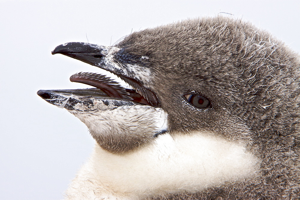 Chinstrap penguin (Pygoscelis antarctica) chick head detail at colony on Useful Island near the Antarctic Peninsula. There are an estimated 2 million breeding pairs of chinstrap penguins in the Antarctic peninsula region alone, perhaps as many as 7.5 mill