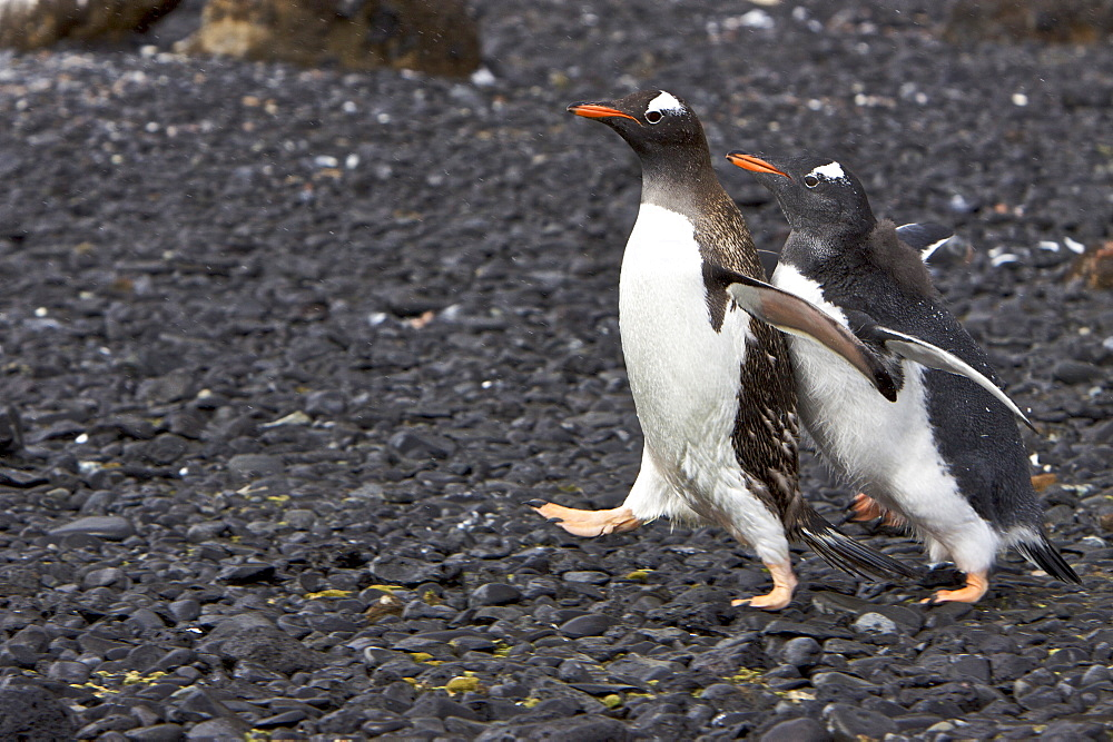 Adult gentoo penguin (Pygoscelis papua) trying to avoid hungry chick in Antarctica