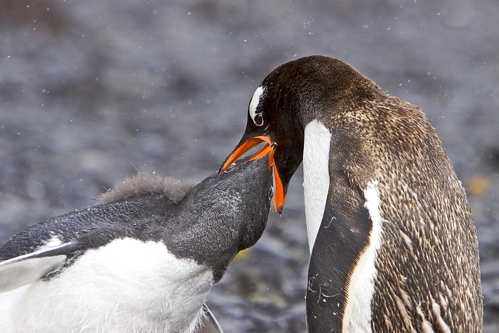 Gentoo penguin (Pygoscelis papua) adult feeding chick in Antarctica. The Gentoo Penguin is one of three species in the genus Pygoscelis. It is the third largest of all penguins worldwide, with adult Gentoos reach a height of 51 to 90 cm (20-36 in).There are an estimated 80,000 breeding gentoo penguin pairs in the Antarctic peninsula area with a total population estimate of around 314,000 breeding pairs in all of Antarctica. Males have a maximum weight of about 8.5 kg (18.8 lbs) just before moulting, and a minimum weight of about 4.9 kg (10.8 lbs) just before mating. For females the maximum weight is 8.2 kg (18 lbs) just before moulting, but their weight drops to as little as 4.5 kg (10 lbs) when guarding the chicks in the nest. Birds from the north are on average 700 g (1.5 lbs) and 10 cm (4 in) taller than southern birds. They are the fastest underwater swimming penguins, reaching speeds of 36 km/h. Gentoo Penguins are listed as Near Threatened on the IUCN Red List.