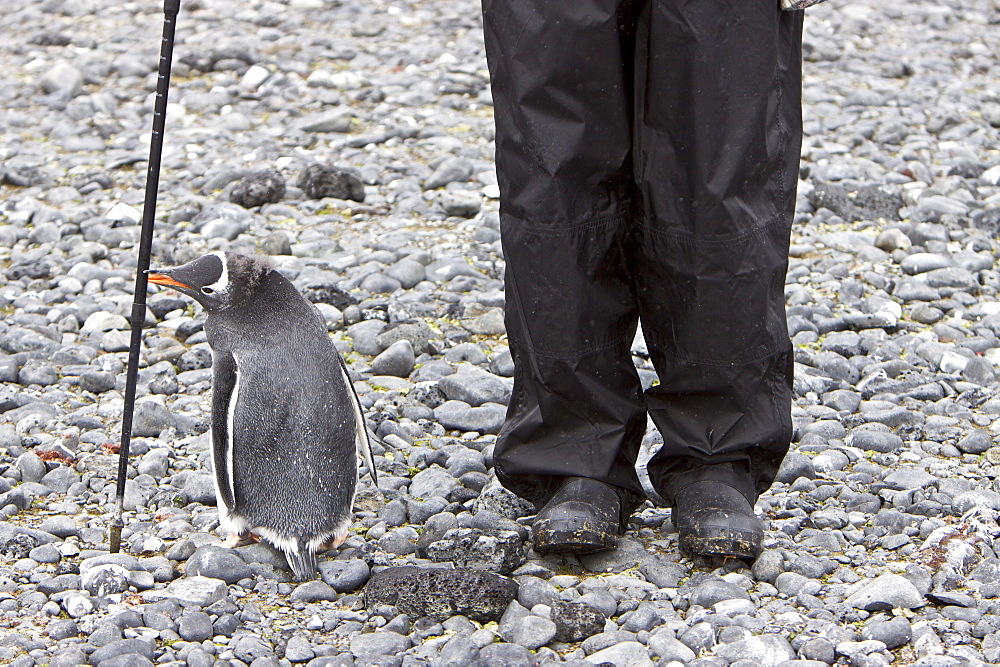 Curious gentoo penguin (Pygoscelis papua) in Antarctica. The Gentoo Penguin is one of three species in the genus Pygoscelis. It is the third largest of all penguins worldwide, with adult Gentoos reach a height of 51 to 90 cm (20-36 in).There are an estimated 80,000 breeding gentoo penguin pairs in the Antarctic peninsula area with a total population estimate of around 314,000 breeding pairs in all of Antarctica. Males have a maximum weight of about 8.5 kg (18.8 lbs) just before moulting, and a minimum weight of about 4.9 kg (10.8 lbs) just before mating. For females the maximum weight is 8.2 kg (18 lbs) just before moulting, but their weight drops to as little as 4.5 kg (10 lbs) when guarding the chicks in the nest. Birds from the north are on average 700 g (1.5 lbs) and 10 cm (4 in) taller than southern birds. They are the fastest underwater swimming penguins, reaching speeds of 36 km/h. Gentoo Penguins are listed as Near Threatened on the IUCN Red List.