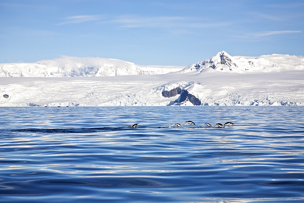 Gentoo penguins (Pygoscelis papua) porpoising in Antarctica. The Gentoo Penguin is one of three species in the genus Pygoscelis. It is the third largest of all penguins worldwide, with adult Gentoos reach a height of 51 to 90 cm (20-36 in).There are an estimated 80,000 breeding gentoo penguin pairs in the Antarctic peninsula area with a total population estimate of around 314,000 breeding pairs in all of Antarctica. Males have a maximum weight of about 8.5 kg (18.8 lbs) just before moulting, and a minimum weight of about 4.9 kg (10.8 lbs) just before mating. For females the maximum weight is 8.2 kg (18 lbs) just before moulting, but their weight drops to as little as 4.5 kg (10 lbs) when guarding the chicks in the nest. Birds from the north are on average 700 g (1.5 lbs) and 10 cm (4 in) taller than southern birds. They are the fastest underwater swimming penguins, reaching speeds of 36 km/h. Gentoo Penguins are listed as Near Threatened on the IUCN Red List.