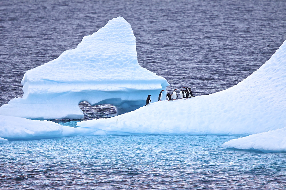 Gentoo penguins (Pygoscelis papua) resting on iceberg in Antarctica. The Gentoo Penguin is one of three species in the genus Pygoscelis. It is the third largest of all penguins worldwide, with adult Gentoos reach a height of 51 to 90 cm (20-36 in).There are an estimated 80,000 breeding gentoo penguin pairs in the Antarctic peninsula area with a total population estimate of around 314,000 breeding pairs in all of Antarctica. Males have a maximum weight of about 8.5 kg (18.8 lbs) just before moulting, and a minimum weight of about 4.9 kg (10.8 lbs) just before mating. For females the maximum weight is 8.2 kg (18 lbs) just before moulting, but their weight drops to as little as 4.5 kg (10 lbs) when guarding the chicks in the nest. Birds from the north are on average 700 g (1.5 lbs) and 10 cm (4 in) taller than southern birds. They are the fastest underwater swimming penguins, reaching speeds of 36 km/h. Gentoo Penguins are listed as Near Threatened on the IUCN Red List.