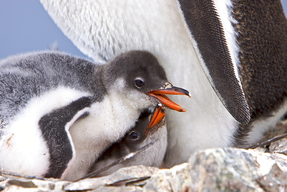 Gentoo penguin (Pygoscelis papua) adults with chicks in Antarctica. The Gentoo Penguin is one of three species in the genus Pygoscelis. It is the third largest of all penguins worldwide, with adult Gentoos reach a height of 51 to 90 cm (20-36 in).There are an estimated 80,000 breeding gentoo penguin pairs in the Antarctic peninsula area with a total population estimate of around 314,000 breeding pairs in all of Antarctica. Males have a maximum weight of about 8.5 kg (18.8 lbs) just before moulting, and a minimum weight of about 4.9 kg (10.8 lbs) just before mating. For females the maximum weight is 8.2 kg (18 lbs) just before moulting, but their weight drops to as little as 4.5 kg (10 lbs) when guarding the chicks in the nest. Birds from the north are on average 700 g (1.5 lbs) and 10 cm (4 in) taller than southern birds. They are the fastest underwater swimming penguins, reaching speeds of 36 km/h. Gentoo Penguins are listed as Near Threatened on the IUCN Red List.