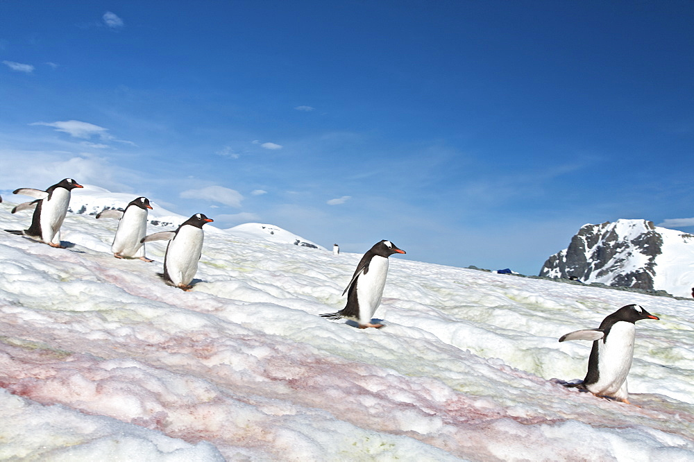 """Gentoo penguins (Pygoscelis papua) following """"penguin highways"""" on Danco Island in Antarctica. The Gentoo Penguin is one of three species in the genus Pygoscelis. It is the third largest of all penguins worldwide, with adult Gentoos reach a height of 51 to 90 cm (20-36 in).There are an estimated 80,000 breeding gentoo penguin pairs in the Antarctic peninsula area with a total population estimate of around 314,000 breeding pairs in all of Antarctica. Males have a maximum weight of about 8.5 kg (18.8 lbs) just before moulting, and a minimum weight of about 4.9 kg (10.8 lbs) just before mating. For females the maximum weight is 8.2 kg (18 lbs) just before moulting, but their weight drops to as little as 4.5 kg (10 lbs) when guarding the chicks in the nest. Birds from the north are on average 700 g (1.5 lbs) and 10 cm (4 in) taller than southern birds. They are the fastest underwater swimming penguins, reaching speeds of 36 km/h. Gentoo Penguins are listed as Near Threatened on the IUCN Red List."""
