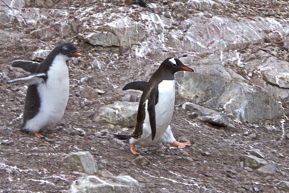 Adult Gentoo penguin (Pygoscelis papua) avoiding hungry chick in Antarctica