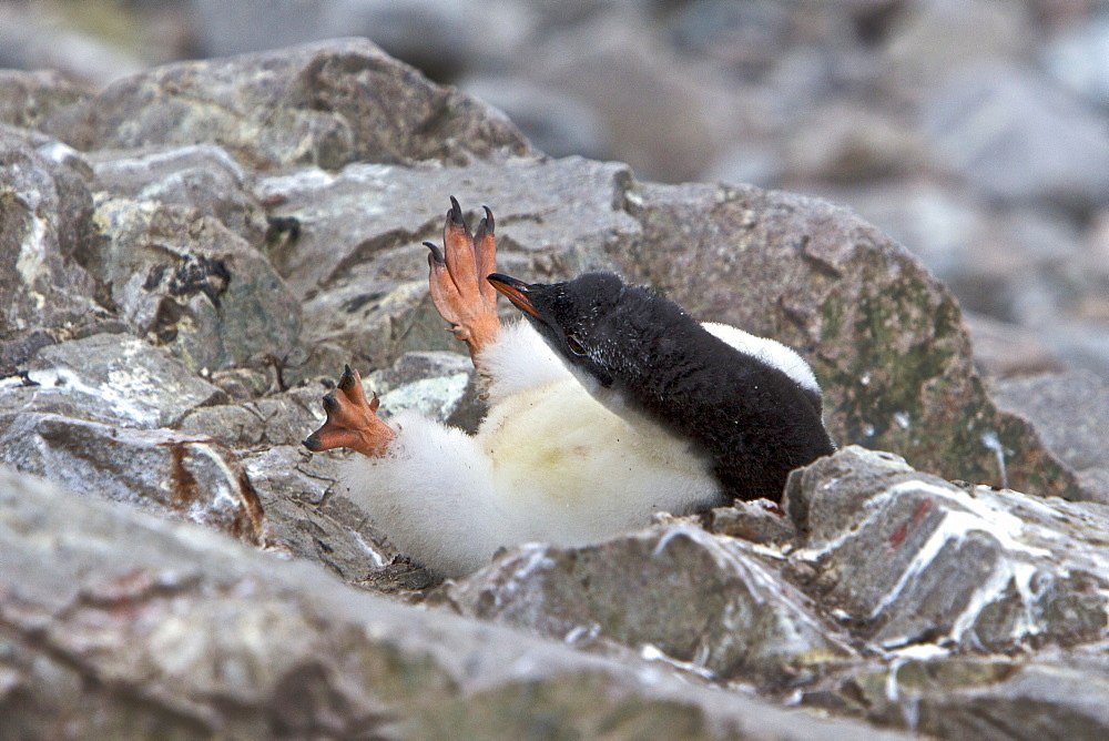 Gentoo penguin (Pygoscelis papua) chick in Antarctica. The Gentoo Penguin is one of three species in the genus Pygoscelis. It is the third largest of all penguins worldwide, with adult Gentoos reach a height of 51 to 90 cm (20-36 in).There are an estimated 80,000 breeding gentoo penguin pairs in the Antarctic peninsula area with a total population estimate of around 314,000 breeding pairs in all of Antarctica. Males have a maximum weight of about 8.5 kg (18.8 lbs) just before moulting, and a minimum weight of about 4.9 kg (10.8 lbs) just before mating. For females the maximum weight is 8.2 kg (18 lbs) just before moulting, but their weight drops to as little as 4.5 kg (10 lbs) when guarding the chicks in the nest. Birds from the north are on average 700 g (1.5 lbs) and 10 cm (4 in) taller than southern birds. They are the fastest underwater swimming penguins, reaching speeds of 36 km/h. Gentoo Penguins are listed as Near Threatened on the IUCN Red List.