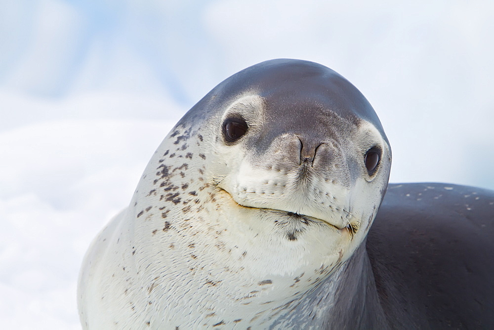 Adult leopard seal (Hydrurga leptonyx) hauled out on ice floe near the Antarctic Peninsula, Southern Ocean. MORE INFO The leopard seal is the second largest species of seal in the Antarctic (after the Southern Elephant Seal), and is near the top of the Antarctic food chain.
