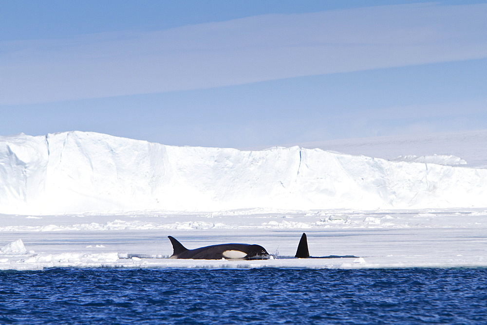 A small pod of 8 Type B killer whales (Orcinus nanus) in pack ice near Snow Hill Island Island at 648 26.1?S  568 42.9?W in the Weddell Sea, Antarctica, Southern Ocean. MORE INFO These animals are also often called killer whales, but this is a misnomer as this is actually the largest member of the dolphin family. The Type B killer whale is a proposed new species called Orcinus nanus, though this is not universally accepted in the scientific community yet. Type B killer whales specialize in hunting pinnipeds, although they have been documented taking penguins. The Antarctic population estimate is 70,000?80,000 for all types of killer whales.   - 979-7613