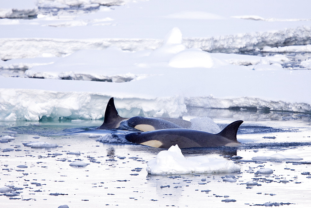 A small pod of 6 to 8 Type B killer whales (Orcinus nanus) in dense first year sea ice south of the Antarctic Circle near Adelaide Island at 678 05.7?S  678 42.8?W in the Gullet, Antarctica, Southern Ocean. MORE INFO These animals are also often called killer whales, but this is a misnomer as this is actually the largest member of the dolphin family. The Type B killer whale is a proposed new species called Orcinus nanus, though this is not universally accepted in the scientific community yet. Type B killer whales specialize in hunting pinnipeds, although they have been documented taking penguins. The Antarctic population estimate is 70,000?80,000 for all types of killer whales.