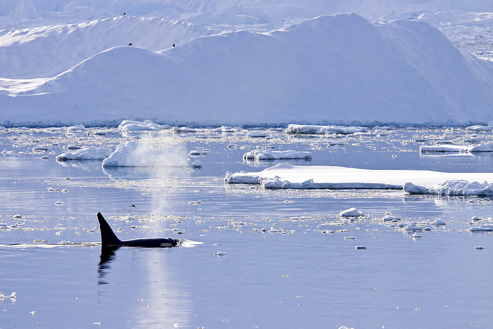 A small pod of 6 to 8 Type B killer whales (Orcinus nanus) in dense first year sea ice south of the Antarctic Circle near Adelaide Island at 67ø 05.7?S  67ø 42.8?W in the Gullet, Antarctica, Southern Ocean. MORE INFO These animals are also often called
