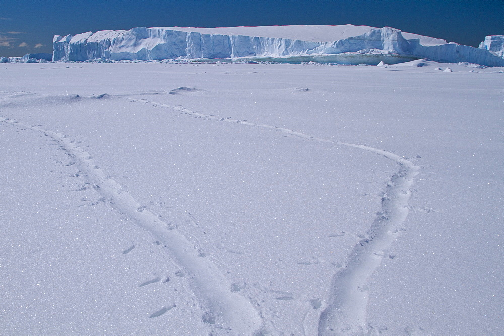 Adelie penguin (Pygoscelis adeliae) toboggan prints in fresh snow near the Antarctic Peninsula, Antarctica.