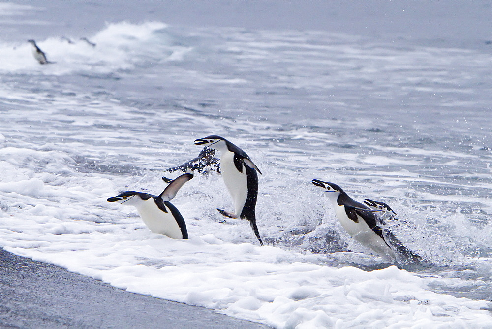 Chinstrap penguin (Pygoscelis antarctica) in surf conditions at Baily Head on Deception Island, South Shetland Island Group, Antarctica. MORE INFO There are an estimated 2 million breeding pairs of chinstrap penguins in the Antarctic Peninsula region alon
