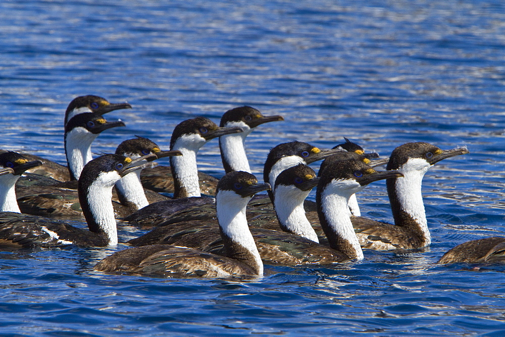 Antarctic shag (Phalacrocorax (atriceps) bransfieldensis) in foraging group near Paulet Island, Weddell Sea, Antarctica. MORE INFO This is the only blue-eyed shag species that does not move further north than the Antarctic Peninsula, even in winter.
